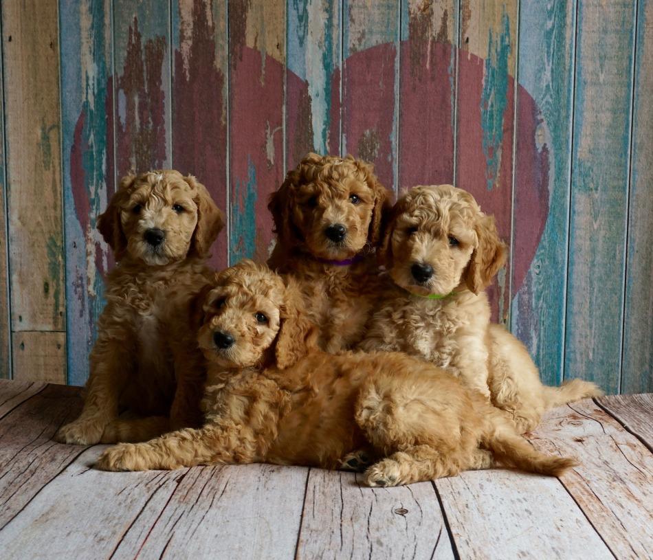 puppies-2044168_1920